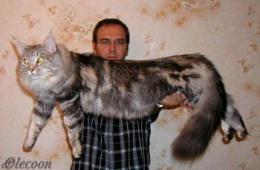 Самые крупные домашние кошки