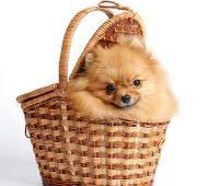 Собаки породы шпиц – станут вашими любимцами