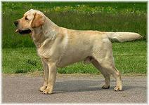 Отличная собака-компаньон