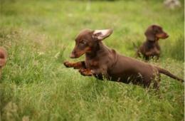 Такие таксы также называют кроличьими, и они являются миниатюрными копиями обычной породы
