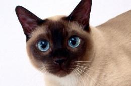 Звезда Востока - тайская кошка