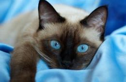 Тайская кошка в нашем доме