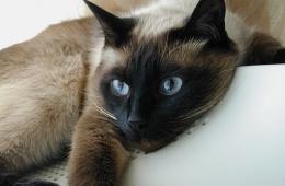 Близкая родственница сиамской кошки