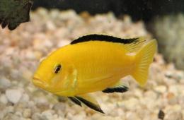 Яркая веселая раскраска этой рыбки очень оживляет аквариум