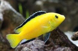 Еллоу - настоящее украшение аквариума