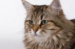 Кот сибирский: красота и сила