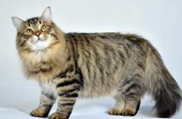 Сплошной восторг: сибирские кошки шикарны!