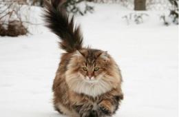 Коты-викинги