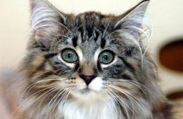 Порода крупных очаровательных кошек