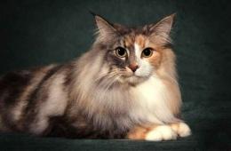 Дикая, но симпатичная: норвежская лесная кошка