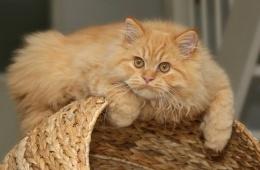 Самые милые кошки - персидские!