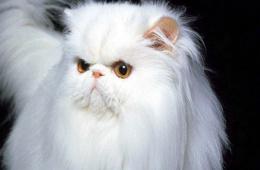 Персидская кошка: пушистое чудо