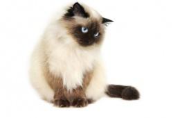 Кошка для тех, кто ценит красоту