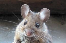 Крысы милые и домашние