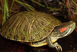 Красноухая черепашка – забавный обитатель аквариума