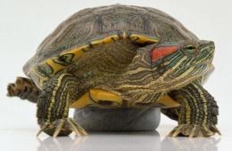 Красноухая черепашка - активное и забавное животное