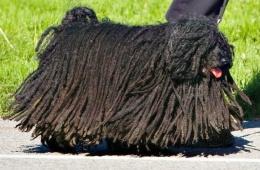 Необычная порода собак
