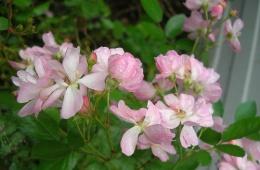 Красивый, но требующий ухода цветок
