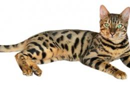 Своенравный леопард