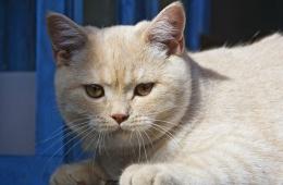 Кошки с английским характером
