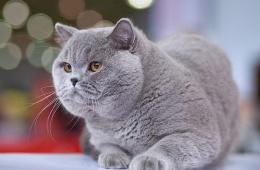 Идеальная кошка для дома и выставки