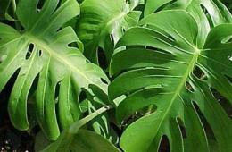 Эффектное растение для дома и офиса