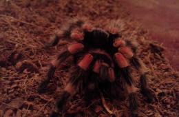 Паук-птицеед - экзотика в обыденной жизни