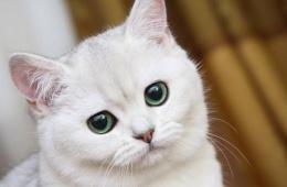 Кошка британских кровей