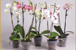 Орхидея «Фаленопсис» в горшках