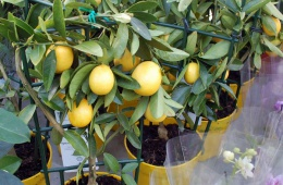 Маленький «домашний» лимон - лимонелла