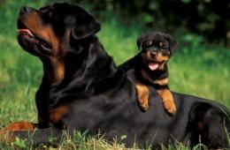 Умная сторожевая собака - ротвейлер