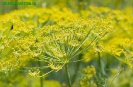 Пряно-ароматическое растение