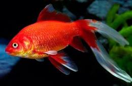 Рыбки - не самый простой вариант