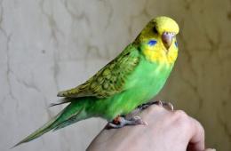 Фрося - мой друг-попугай