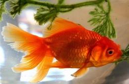 Золотая рыбка - королева аквариума