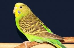Волнистый попугай - мой яркий пернатый друг