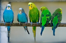 Волнистые попугаи - очень забавные птицы