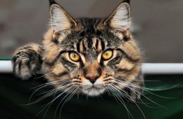 Самые большие кошки среди домашних