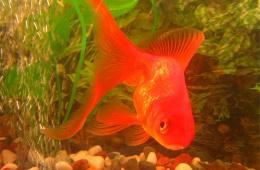 Разновидность золотой рыбки