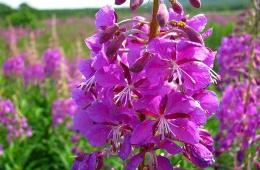 Иван-чай – ценное лекарственное растение, оказывающее успокаивающее, противовоспалительное, антибактериальное и обволакивающее действия