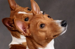 Басенжи - собака моей мечты