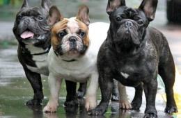 Французский бульдог - семейная собака