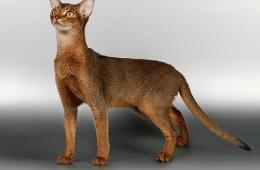Солнечная абиссинская кошка
