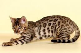 Бенгальская кошка – маленький леопард