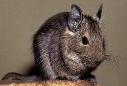 Дегу – замечательный грызун с плохим иммунитетом