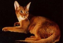 Абиссинская кошка – ревнивый сторож своего хозяина