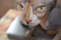Сфинксы - кошки, которыми восхищаются