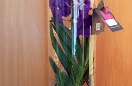Орхидея с характером