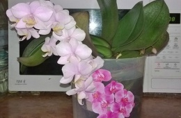Красивый экзотический цветок-эпифит, несложный в уходе.