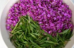 Иван-чай – полезный и вкусный чай